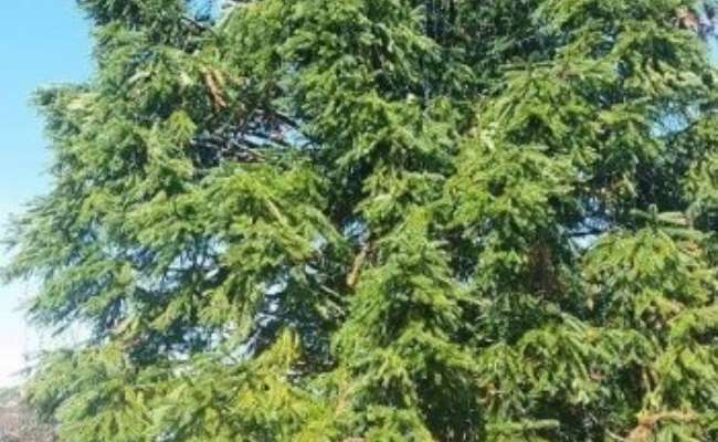 Featured Conifer - Cunninghamia lanceolata