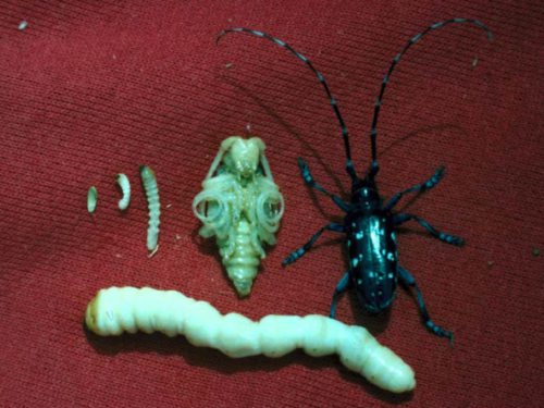 The life stages of the Asian longhorned beetle, a conifer insect pest. Photograph by Kenneth R. Law, USDA APHIS PPQ, Bugwood.org