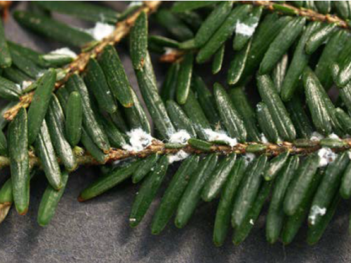 The hemlock woolly adelgid, an aphid-like pest in conifers. Photograph by Bruce Watt, University of Maine, Bugwood.org
