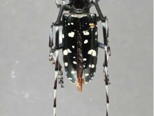 An adult Asian longhorned beetle, another invasive pest in conifers. Photograph by Eugenio Nearns, USDA/APHIS/PPQ National Identification Services (NIS), Bugwood.org