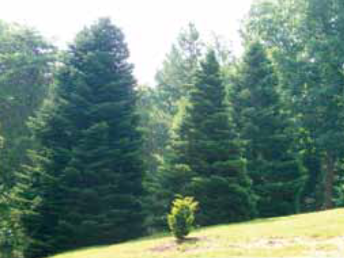 A view of momi firs (Abies firma) in a conifer garden