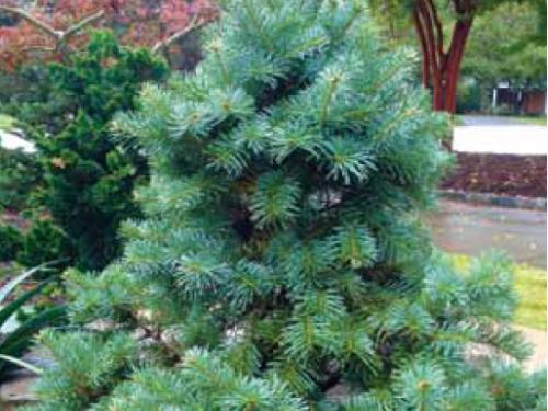 A dwarf California red fir (Abies magnifica `Nana')