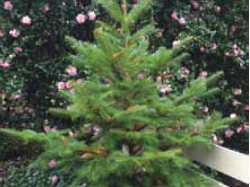 The conifer, 'Glauca Nana' Min fir (Abies recurvata 'Glauca Nana') from China