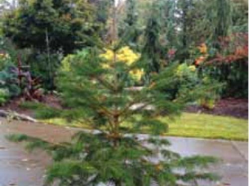 A conifer seedling, Shensi fir (Abies holophylla) growing since spring 2008