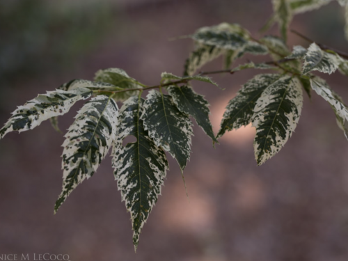 White can be subtle, too, as in this Zelkova serrata 'Green Mansions'