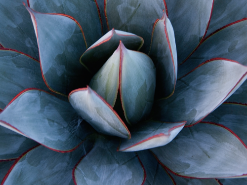 Agave 'Blue Glow' even has red edges!