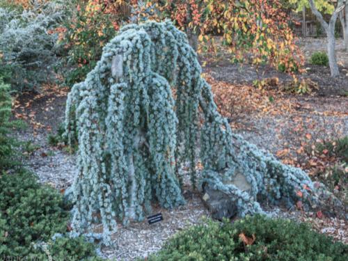 Blue weeping Atlantic cedar (Cedrus atlantica 'Glauca Pendula')
