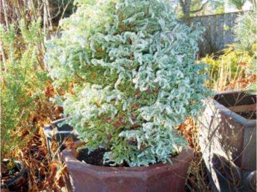 The evergreen 'Curly Tops' Sawara false-cypress (Chamaecyparis pisifera 'Curly Tops')