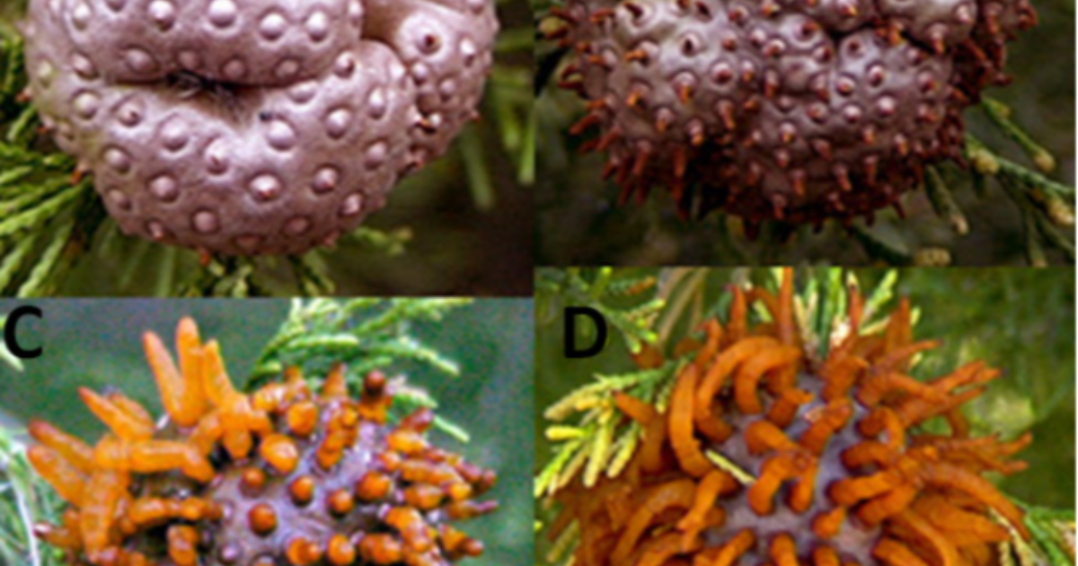 How to Avoid Cedar Apple Rust in Conifers | American Conifer Society