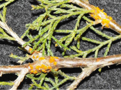 Cedar branch with quince rust cankers. Photo: Oklahoma State University