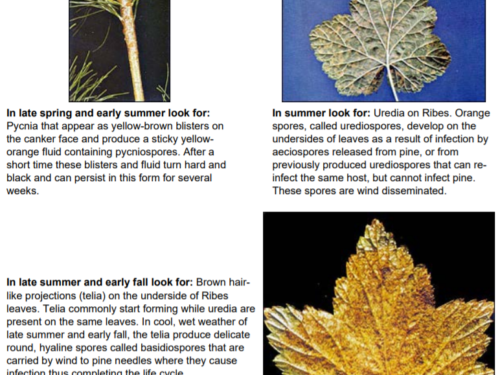 The various forms of the White Pine Blister Rust fungus. Photo: USDA Forest Service Northeastern Area