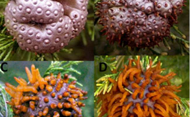 How to Avoid Cedar Apple Rust and White Pine Blister Rust in Conifers