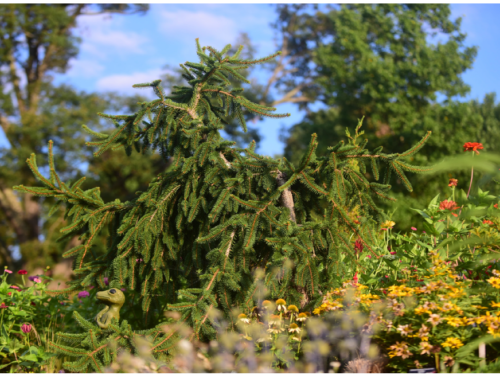 The conifer, Picea abies f. pendula (pendulous form of Norway spruce)