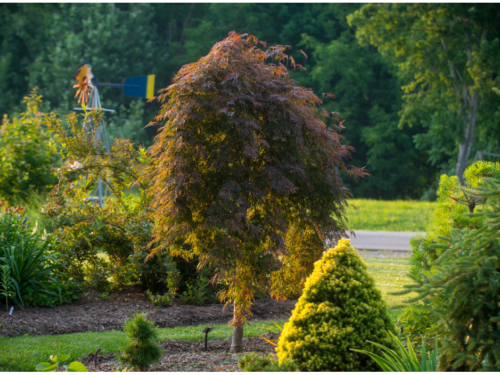 The conifers, Acer palmatum 'Orangeola' (Orangeola lace-leaf Japanese maple) and Picea glauca var. albertiana 'Gold Tip' (gold-tipped Alberta spruce) in the front yard of Bill and Tracy Blevins' garden in Spotsylvania, PA