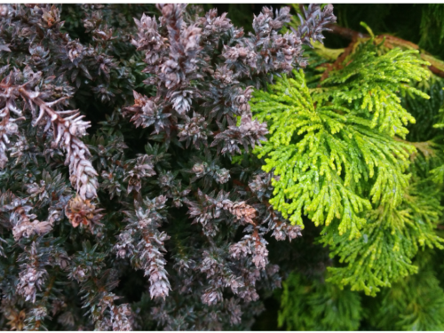 The conifers, Red Star™ Atlantic white cypress (Chamaecyparis thyoides 'Rubicon') (left) and Confucius Hinoki cypress (Chamaecyparis obtusa 'Confucius') (right)