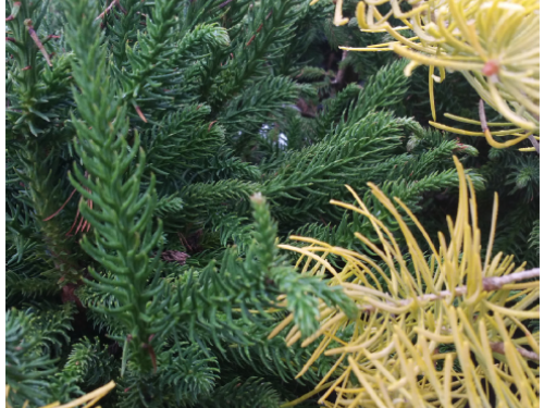 The conifers, Dinger Japanese cedar (Cryptomeria japonica 'Dinger') (left) and Wintergold white fir (Abies concolor 'Wintergold') (right)