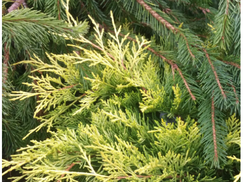 The conifers, Bruns weeping Serbian spruce (Picea omorika 'Pendula Bruns' ) (top) and Gold Strike creeping juniper (Juniperus horizontalis 'Gold Strike') (bottom)