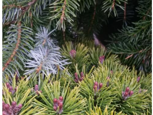 The conifers, Mops mugo pine (Pinus mugo 'Mops') (bottom) and Bruns weeping Serbian spruce (Picea omorika 'Pendula Bruns') (top)