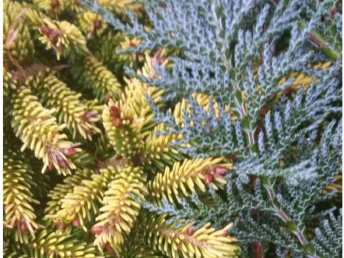 The conifers, Tom Thumb Gold Caucasian spruce (Picea orientalis 'Tom Thumb Gold') (left) and blue columnar Lawson cypress (Chamaecyparis lawsoniana 'Columnaris Glauca') (right)
