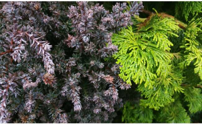 How to Design Your Personal Conifer Garden: Color, Texture, & Size