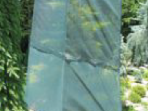 The shade screen around my Skylands Caucasian spruce (Picea orientalis 'Skylands')