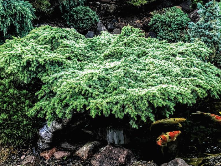 The conifer, Hillier's HB Atlas cedar (Cedrus atlantica 'Hillier's HB')