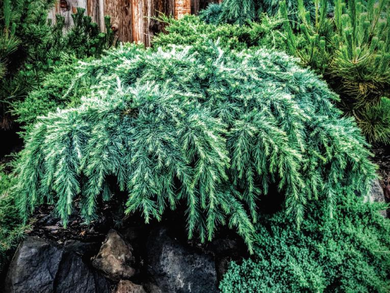 The conifer, a prostrate Himalayan cedar (Cedrus deodara 'Prostrata')
