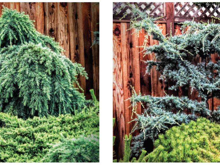 The conifers, Feelin' Blue Himalayan cedar (Cedrus deodara 'Feelin' Blue') and Horstmann Atlas cedar (Cedrus atlantica 'Horstmann')