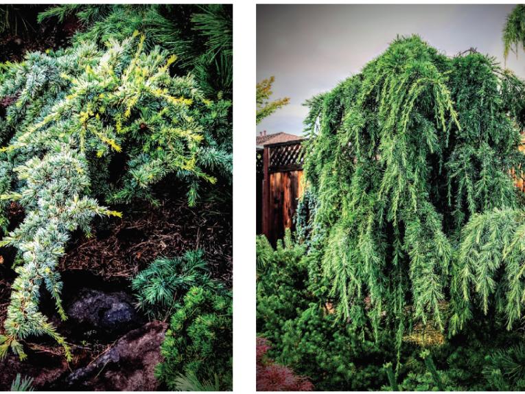 The conifers, golden Atlas cedar (Cedrus atlantica 'Aurea') and Deep Cove Himalayan cedar (Cedrus deodara 'Deep Cove')