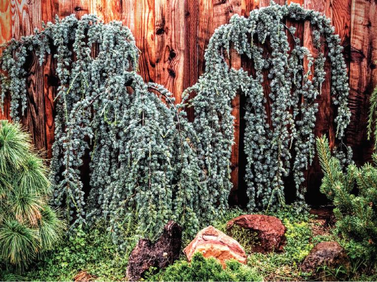 The conifer, a blue weeping Atlas cedar (Cedrus atlantica 'Glauca Pendula')