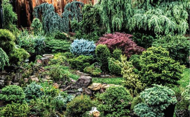 How to Plant and Care for Cedars