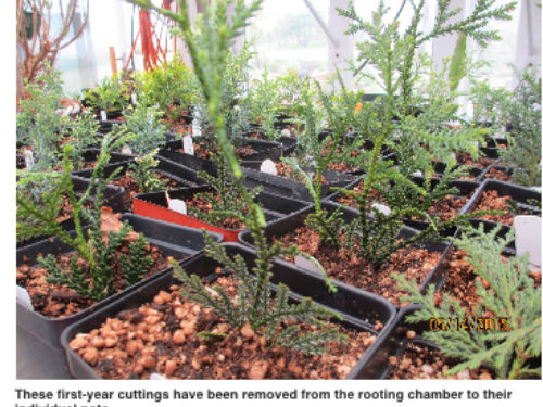 These first-year cuttings have been removed from the rooting chamber to their individual pots