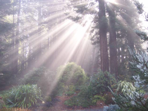 The conifer, Sekkan Sugi Japanese cedar (Cryptomeria japonica 'Sekkan-sugi,' center) under a canopy of coast redwood (Sequoia sempervirens)