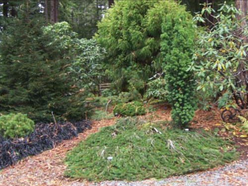 The conifer, Sekkan Sugi Japanese cedar (center) with Picea abies 'Pendula' in front as ground cover. Tall Picea orientalis 'Nana' is to the left with Pinus uncinata 'Berhal #4 WB' below and Taxus baccata 'Standishi' at center right