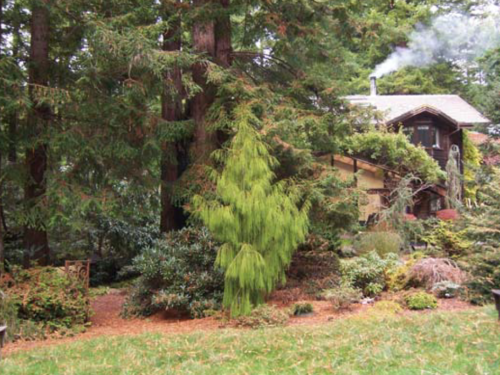 The large conifer, rimu (Dacrydium cupressinum) from New Zealand under a redwood canopy