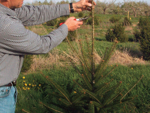 Dr. Bert Cregg demonstrating how to make a cut during pruning