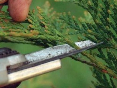 How to snip branch tips back lightly on a conifer