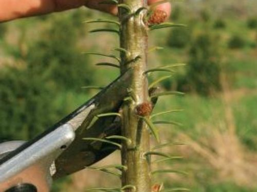 How to make a cut half an inch or so above a bud on a conifer