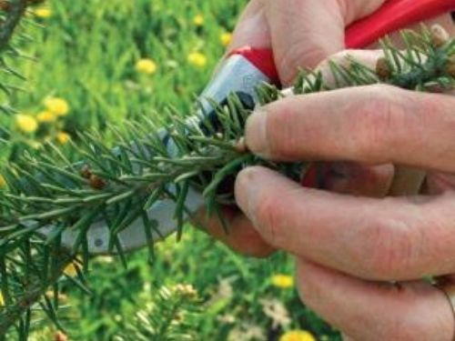 How to trim back the outermost tips to encourages fullness in a conifer plant