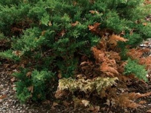 Pruning for a conifer's health