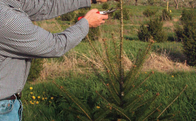 How to Prune Conifer and Evergreen Trees