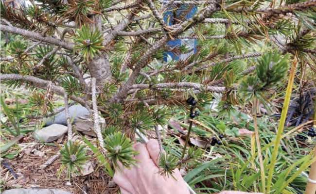 Identifying Conifer Diseases