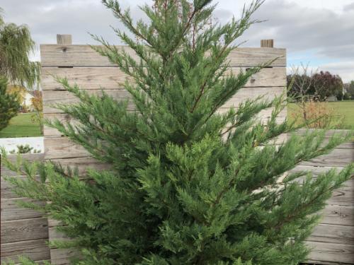 The conifer, 'Irish Eyes' Leyland cypress (Cupressus x leylandii 'Irish Eyes')