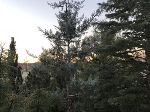 The conifer, 'Blue Ice' Arizona cypress (Cupressus glabra 'Blue Ice')