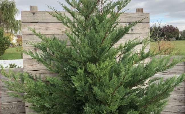 Increase Winter Survival of Conifers