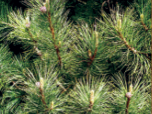 Pinus cembra 'Silver Sheen' Swiss stone pines are reliable conifers in Michigan landscapes