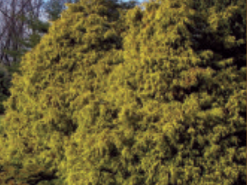 The color and texture of the conifer, Chamaecyparis pisifera 'Filifera Aurea' make it a show-stopper. Golden thread falsecypress (Chamaecyparis pisifera 'Filifera Aurea') welcome visitors to the Harper Conifer Collection at Hidden Lake Gardens. Photograph by Jack Wikle