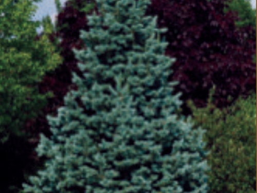 """Need a break from""""blue spruce burnout""""? Abies lasiocarpa 'Arizonica Compacta' has outstanding conifer form and color"""