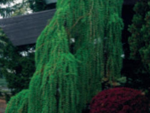 Larix kaempferi provides a dramatic contrast in conifer form and color
