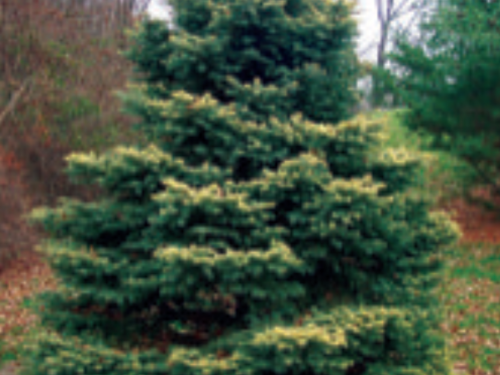 The yellow highlights of the conifer, Picea pungens 'Walnut Glen' can brighten up even a dreary fall day in Michigan